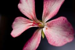 гераниум цветка Стоковое Изображение