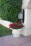 гераниум potted Стоковая Фотография RF