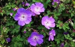 Гераниум Rozanne, фиолетовые цветки в парке стоковые изображения