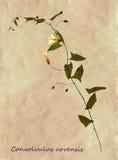 Гербарий вьюнка поля Стоковые Фотографии RF