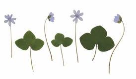 Гербарий от высушенного blossoming цветка аранжированного в ряд Стоковые Изображения