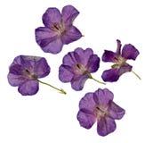 Гербарий пурпура высушил и отжал фиолетовые изолированные цветки Стоковая Фотография RF