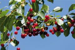 Германия, Hesse, вишни вися на хворостине Стоковая Фотография RF