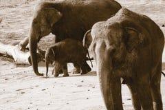 Германия, Köln, азиат Elefants в зоопарке Стоковые Фотографии RF