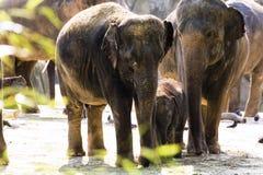 Германия, Köln, азиат Elefants в зоопарке Стоковое Фото