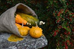 Гессенский мешок переполняя с оранжевыми и зелеными бородавчатыми тыквами Стоковая Фотография RF
