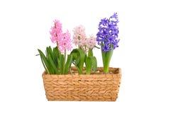 Гиацинты весны в корзине Стоковые Фото