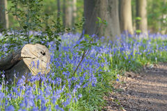 Гиацинты или голубые колоколы Стоковая Фотография