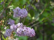 гиацинты пурпуровые стоковое фото rf