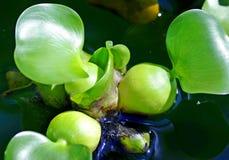 Гиацинт воды Стоковые Фото