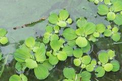 Гиацинт воды в пруде Стоковое Фото