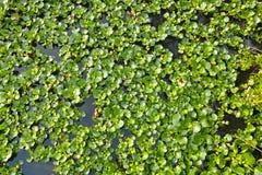 Гиацинт воды Стоковые Фотографии RF