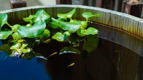 Гиацинт воды Стоковое Изображение