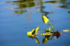 Гиацинт воды Стоковое Изображение RF