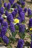 Гиацинт Поле красочной весны цветет гиацинт на солнечном свете желтый цвет картины сердца цветков падения бабочки флористический  Стоковое Изображение RF