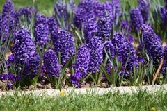 Гиацинт Поле красочной весны цветет гиацинт на солнечном свете желтый цвет картины сердца цветков падения бабочки флористический  Стоковые Фото