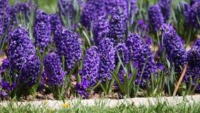 Гиацинт Поле красочной весны цветет гиацинт на солнечном свете желтый цвет картины сердца цветков падения бабочки флористический  Стоковая Фотография