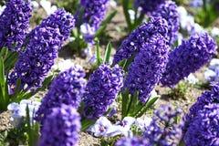 Гиацинт Поле красочной весны цветет гиацинт на солнечном свете желтый цвет картины сердца цветков падения бабочки флористический  Стоковые Фотографии RF