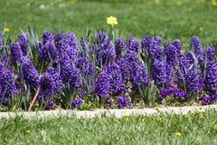 Гиацинт Поле красочной весны цветет гиацинт на солнечном свете желтый цвет картины сердца цветков падения бабочки флористический  Стоковые Изображения RF