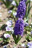 Гиацинт Поле красочной весны цветет гиацинт на солнечном свете желтый цвет картины сердца цветков падения бабочки флористический  Стоковые Изображения