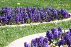 Гиацинт Поле красочной весны цветет гиацинт на солнечном свете желтый цвет картины сердца цветков падения бабочки флористический  Стоковое Фото