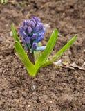 Гиацинт растя в земле стоковые фото