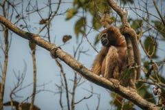 Гиббоновые Hoolock высокие на дереве в среду обитания природы Стоковая Фотография