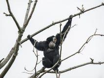 Гиббоновые Siamang на дереве Стоковые Фото