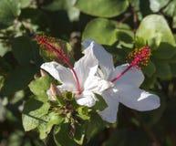 Гибискус более одичалого белого гаваиского arnottianus гибискуса одиночный с розовыми тычинками Стоковые Фото