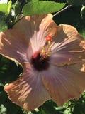 Гибискус в солнце Стоковые Фотографии RF