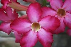 Гибискус в цветени стоковое изображение