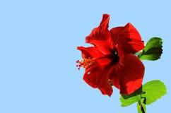 Гибискус открытого цветка красного цвета китайский (гибискус Роза-sinensis) стоковое изображение