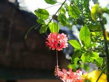 Гибискус Роза-sinensis Стоковая Фотография