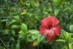 Гибискус Роза-Sinesis Стоковое Изображение RF