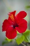 Гибискус цветеня Стоковые Изображения RF