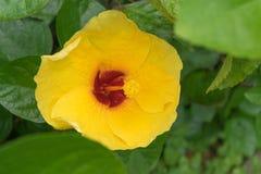 Гибискус цветет - желтый цветок в природе Стоковая Фотография RF