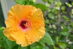 Гибискус цветет - желтый цветок в природе Стоковые Изображения