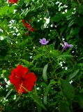 Гибискус Moalboal, фиолетовое Instruders Стоковая Фотография