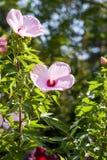 Гибискус Moscheutos, красивые цветки стоковое изображение