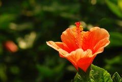 Гибискус Shoeblackplant китайский, Китай поднял, гаваиский гибискус Стоковая Фотография RF
