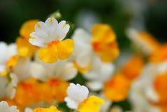 гибридное sunsatia nemesia Стоковая Фотография