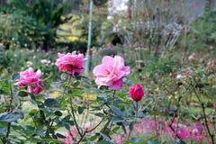 Гибридный пинк чая поднял на дерево зацветая в саде стоковое изображение rf