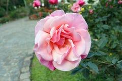 Гибридный пинк чая поднял на дерево зацветая в саде стоковая фотография