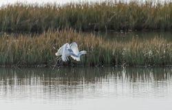 Гибридный Egret 04 цапли x Snowy Tricoloured Стоковое Изображение RF