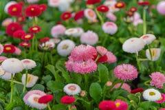 Гибриды perennis Bellis, общая маргаритка, маргаритка лужайки, английская маргаритка Поле пестротканых цветков для садов, парков стоковые фото