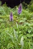 Гибрид орхидеи болота стоковое фото rf