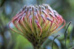 Гибрид conocarpodendron Leucospermum лент марди Гра Leucospermum стоковое изображение