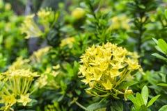 Гибрид Ixora лепестков пуков красивый желтый крошечный знает как западный индийский жасмин или пламя джунглей, зацветая на темных стоковые изображения rf