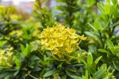 Гибрид Ixora лепестков пуков красивый желтый маленькая знает как западный индийский жасмин или пламя джунглей, зацветая на темных стоковые изображения