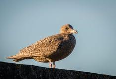 Гибридная птица, смешивание европейского argentatus Larus чайки сельдей и Glaucous hyperboreus Larus чайки стоя на стене Стоковое Изображение RF